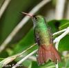 縄張りを見張る Rufous-tailed Hummingbird (ルフォウステイルド ハミングバード)