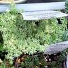 🌵多肉植物   植え替え待ちのセダムさんたち🌵