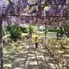 藤の名所 須賀の園には蜂が多かった。クマンバチは怖のか?