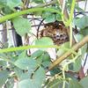 うちのツルバラの陰に、新築中のハチの巣!