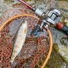 2020年小菅川渓流釣り解禁。C&Rエリアの解禁直後の状況について