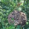 浜松市で今年最大級のスズメバチの巣を駆除してきました