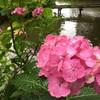 埼玉県、上尾丸山公園であじさい観賞。やっぱあじさい見るなら雨ですね