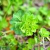 美しい輪状の葉をつけるトウダイグサ 福岡県遠賀郡遠賀町大字島津
