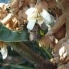 枇杷の花 ミツバチが訪花 Loquat flowers