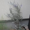 エレモフィラニベアの花