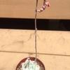 ケッセルリンギアナ(エケベリア属)の花芽をカット!花芽挿し?に挑戦です。