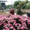 美しさと香りにうっとり 「春のバラまつり」開幕
