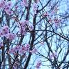 おすすめ&お得な情報 桜まつり 渋滞回避にも!河津桜まつりへは「南伊豆フリー乗車券」がオススメです