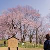 新品種の「くれはおとめしだれ」:呉羽山公園