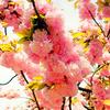 関山(カンザン)/桜(散歩写真)