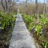 水芭蕉を見にマクンベツ湿原に行ってみた