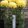 お山で菊の展示会、11月22日まで!
