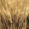 国産小麦のパンが人気な理由
