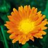 今日の誕生花「キンセンカ」見てるだけで目に良いと言われてる花!