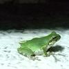 緑鮮やかなニホンアマガエル
