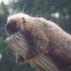 カナダヤマアラシ@東山動物園