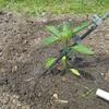 ピーマン、シシトウの苗を植えました。 +畑作業