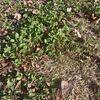 シロツメクサと芝生