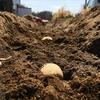 ラボ1畑のジャガイモ植え付け