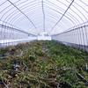 【農業体験】 トマト農業体験の1シーズンを終えました。