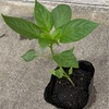 家庭菜園 野菜苗移植と豆の播種の様子