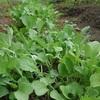 【うさぎ】まる様は、舌が肥えている? 家庭菜園の採れたて大根葉を与えてみた