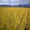 小学校で稲刈り授業|クラスで作ったお米を収穫