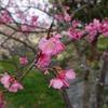 沖縄)今帰仁城跡の寒緋桜(カンヒザクラ)