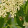 シマトネリコに群がるミツバチ