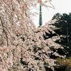 フィルム写真の桜。