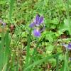 森の工房AMAの庭のアイリス系の花