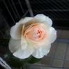 今シーズンの薔薇たち