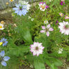 ワイルドフラワーミックスから咲いた花のリスト