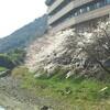 さくら、桜、お花見いろいろ