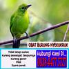 Obat Burung Ngorok Megap-megap