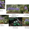 春の花スミレ 万葉の世では,むしろ食用の野草として大切にされていた. すみれ(菫)/ 万葉集 はるののに,すみれつみにと,こしわれそ,のをなつかしみ,ひとよねにける 山部赤人