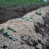 ビニールマルチなしでサツマイモ植えました