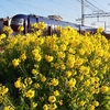 菜の花と南海電車
