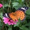 ツマグロヒョウモンの翅