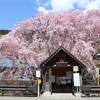 多摩川桜百景 -74. 人里の枝垂れ桜-