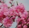 「桜」は散り始めました。