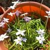 たくさん咲いてきた!