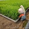 おいしいお米の苗、ついに田んぼデビュー!田植えのお話