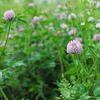 千島薊、蕺草開花