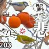1203【メジロの悲劇。枝折れ、シジュウカラに柿食べられる】サザンカにメジロ、マメガキにヒヨドリ。ヤヤコマ。コゲラの捕食、ドラミングと鳴き声。草花野鳥【 #今日撮り野鳥動画まとめ 】 #身近な生き物語