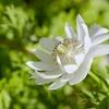 八重咲きアネモネ