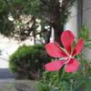 父が育てている花壇に咲いた「モミジアオイ」についてのお話し。