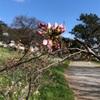 多摩川桜百景再び