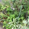 斑入りギボウシの開花